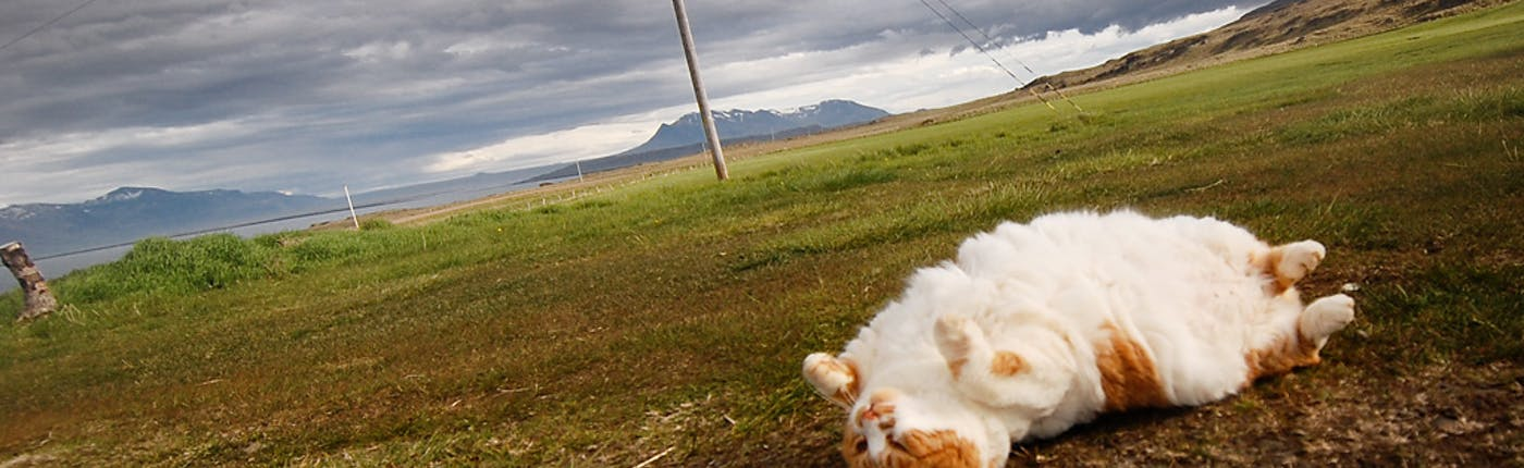 Cat in Morning Dew   Guide to Iceland   Summer in Iceland