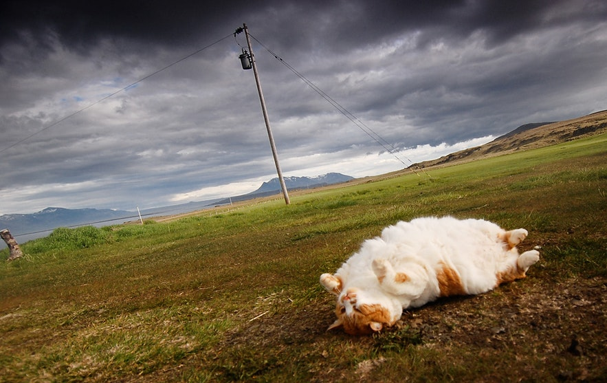 Cat in Morning Dew | Guide to Iceland | Summer in Iceland