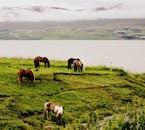 牧草地で草を食べるアイスランドの馬