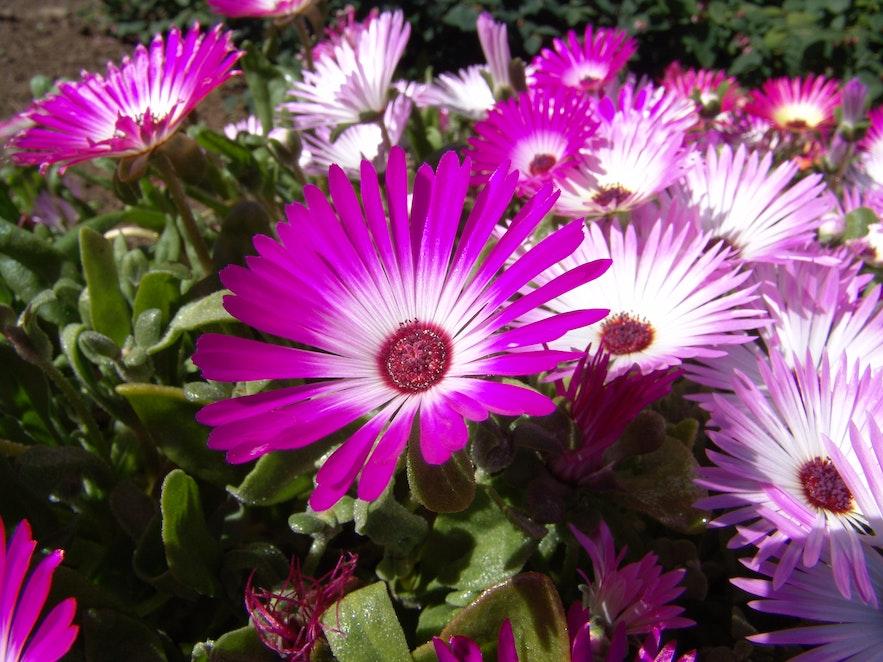 Kwiaty z ogrodu w Akureyri.