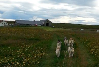 Husky Dogcart-Tour bei Mývatn