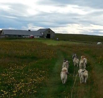 Siberian Husky Dog Cart Tour in Lake Myvatn Area