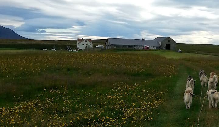 Tur med hundevogn (sibirske huskyer) i området ved Mývatn
