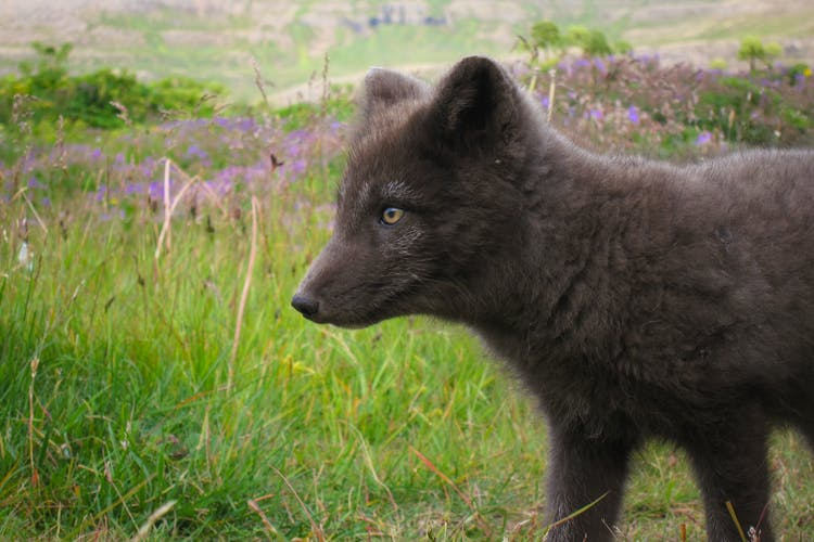 The Westfjords has the largest arctic fox population in Iceland.