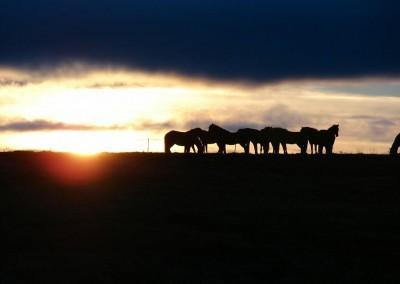 一群沐浴在冰岛东部高地日落下的冰岛马