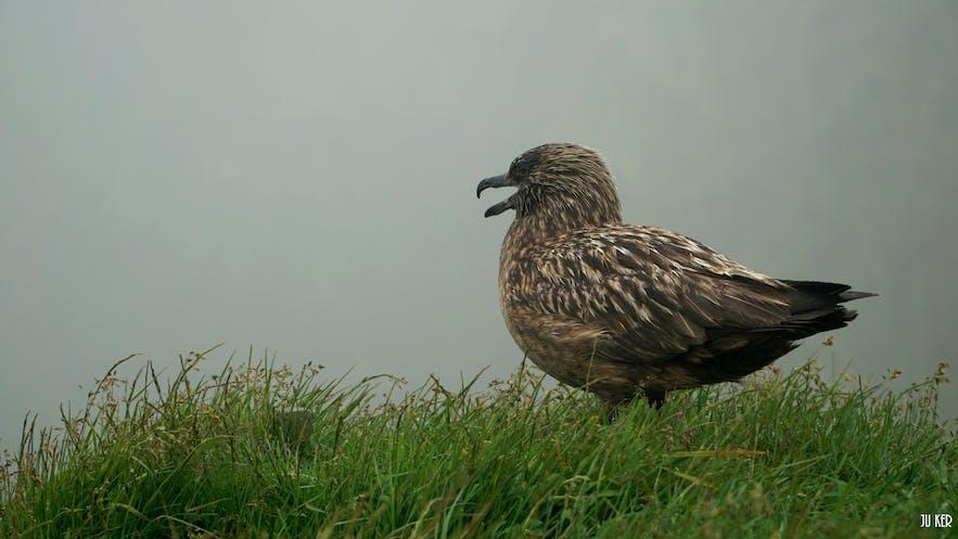 On peut approcher les oiseaux de très près en Islande