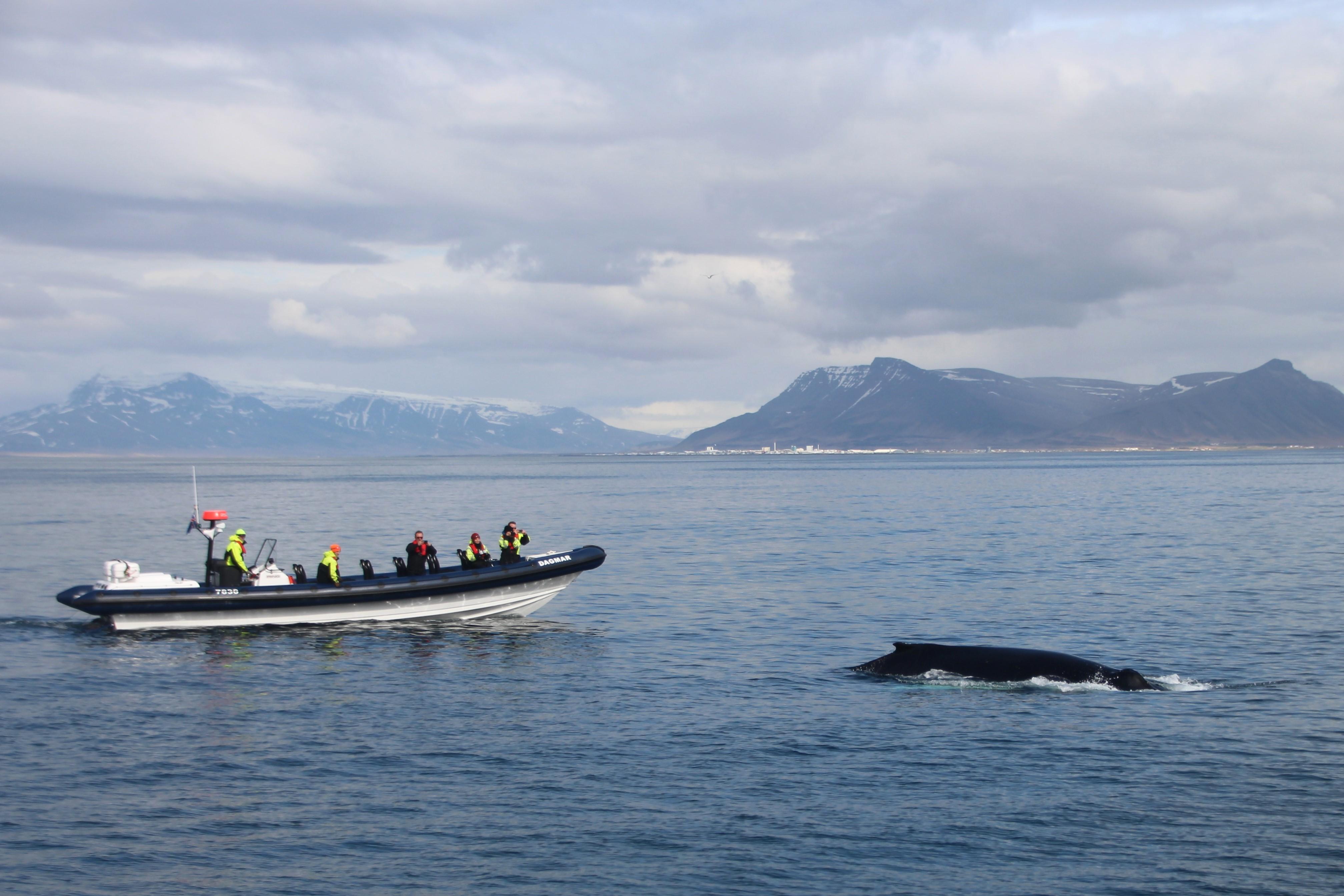 大型船よりも間近にクジラを観察できるRIBボートに乗ってホエールウォッチングを体験しよう!