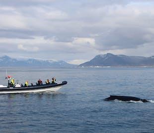 レイキャビク発のホエールウォッチング体験|高速RIBボートで迫力満点!