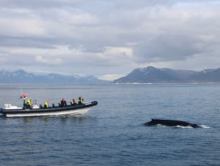 Whale Watching on Faxafloi Bay   RIB Boat Express