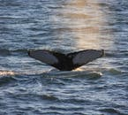 A whale's tail fin sinks into the waters just off Reykjavík city's shore.