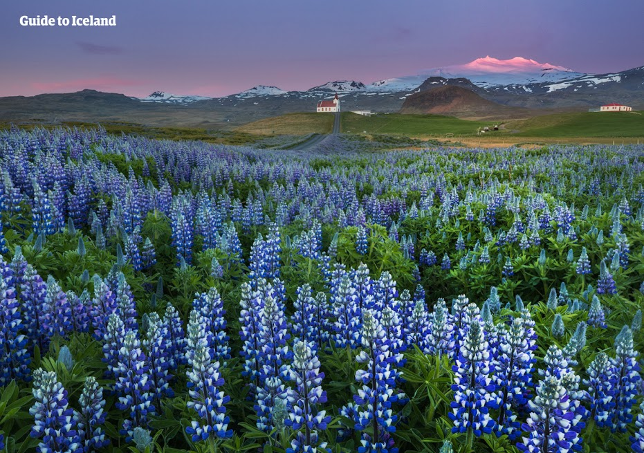 Purple lupine field on the Snæfellsnes peninsula, with Snæfellsjökull glacier in the background.