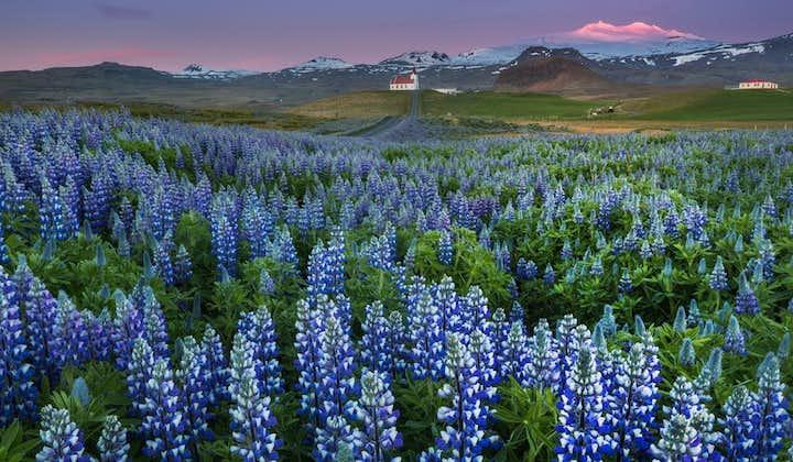 Purple lupine field on the Snæfellsnes peninsula, with Snæfellsjökull glacier in the background.