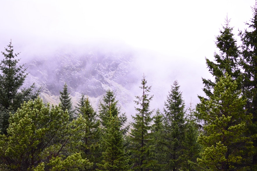 How did Iceland become a deforested country so quickly, and what are the native trees and vegetation that grow here? What is the future of Icelandic forests, and are there any forests that you can visit during your trip to Iceland? Read on for all there is to know about The Forests of Iceland?