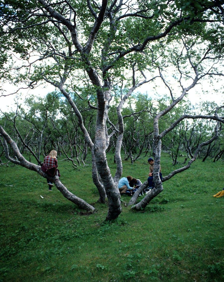 Hallormsstaðaskógur森林深受当地人的喜爱