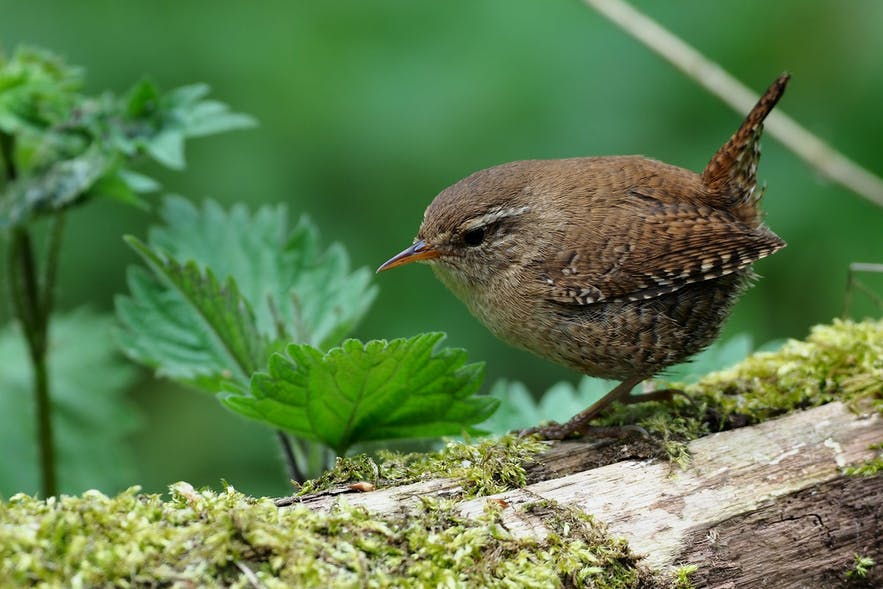 Birds such as the Eurasian Wren will find a happier home in Iceland with more forest cover.