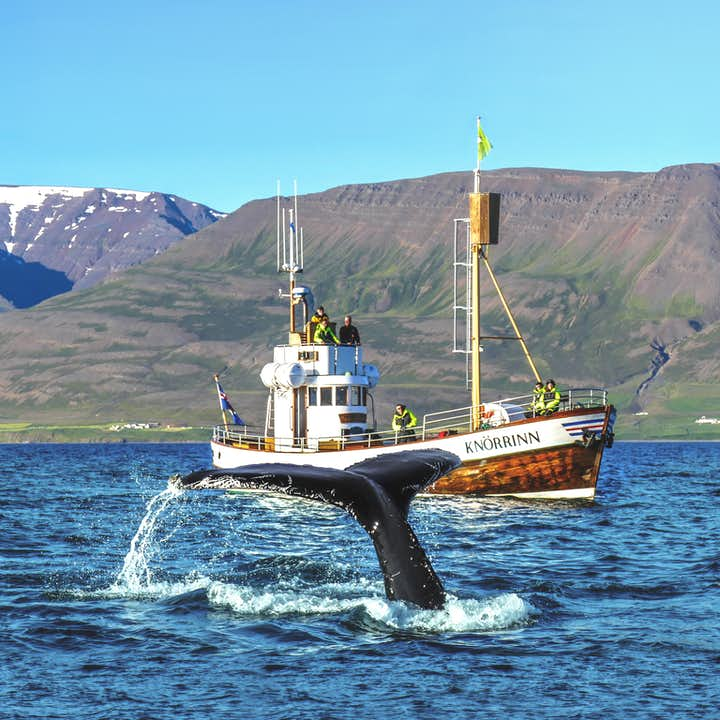 Guided 2 Hour Whale Watching Boat Trip in North Iceland with Transfer from Hjalteyri