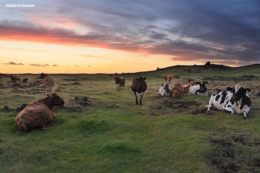 Zachód słońca na islandzkim pastwisku