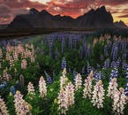 Summer-ready lupines at the foot of the photogenic Vestrahorn mountain.