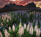 真夏に咲いたルピナスの花とヴェストラホルン山