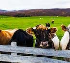 Na Islandii poza owcami spotkasz również krowy.