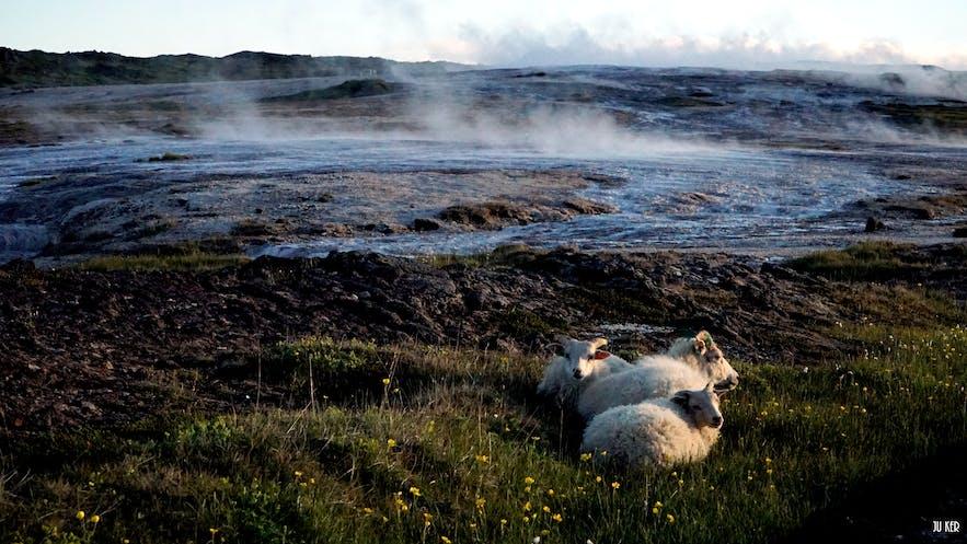 Les moutons se réchauffant près de la source géothermale