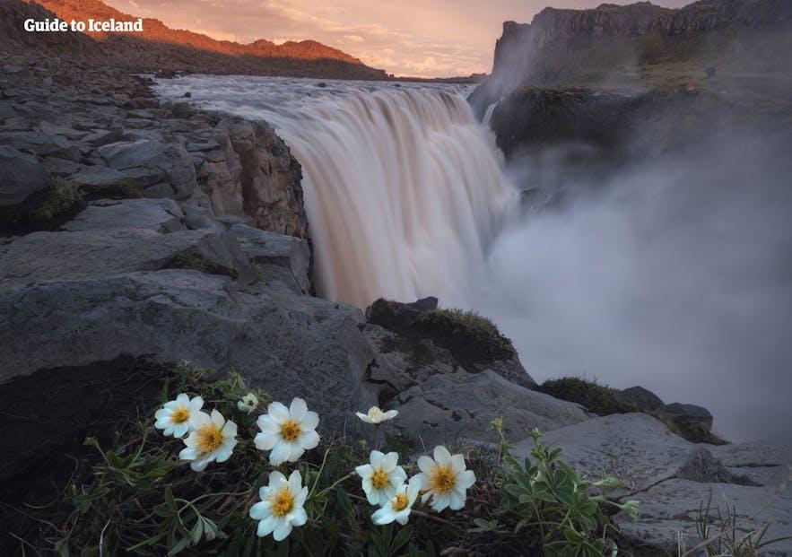 Flowers bloom before Dettifoss waterfall.