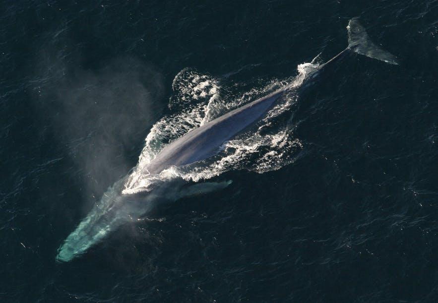 วาฬขนาดใหญ่กำลังว่ายขึ้นมาบนผิวน้ำเพื่อหายใจ.