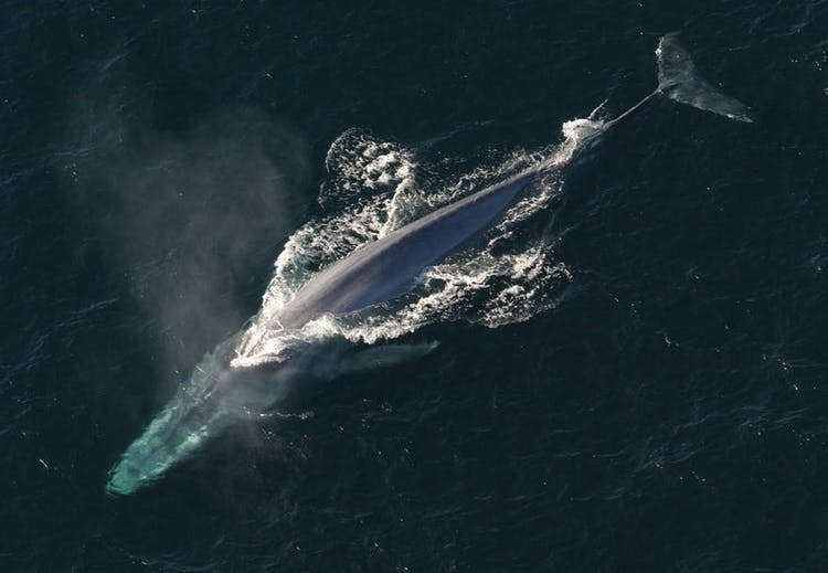 A majestic whale makes its way to the surface for air.