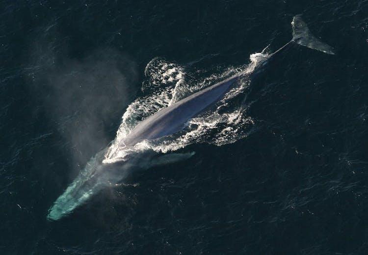 Majestatyczny wieloryb wypływa na powierzchnię, aby zaczerpnąć powietrza.