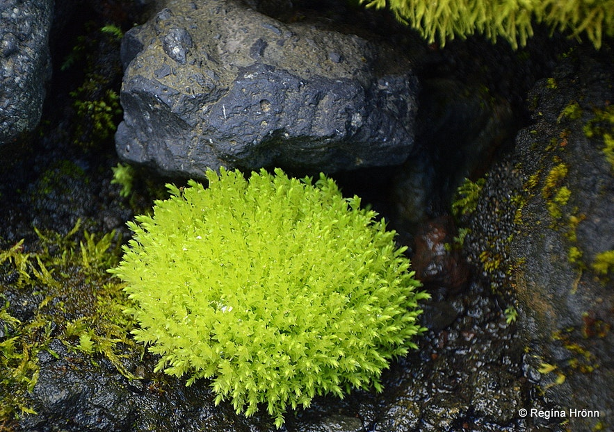 New moss by Gígjökull glacier South-Iceland