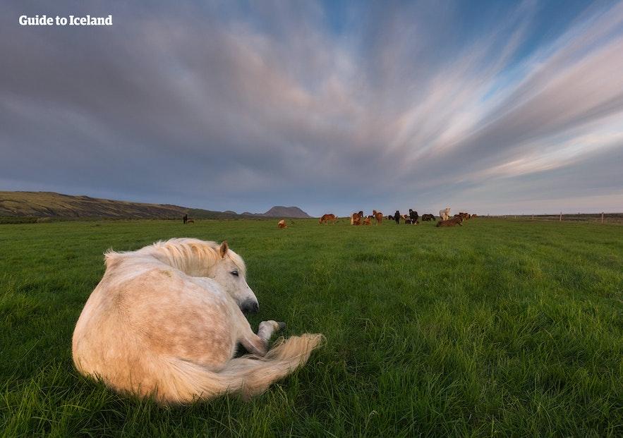 冰岛的惠拉盖尔济小镇充满了田园风情,可爱的冰岛马在原野上自由徜徉