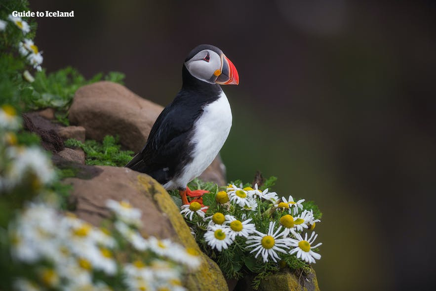 A puffin in Iceland in summer looking out to sea.
