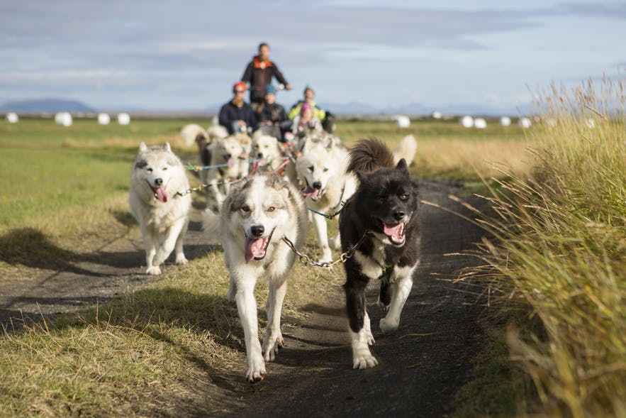 Dog sledding in iceland guide to iceland did you know that you can partake in a dog sledding tour in iceland does solutioingenieria Choice Image