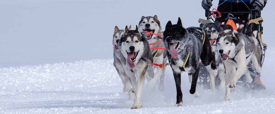 There are three breeds used for dog sledding in Iceland.