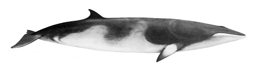 冰島minke whales