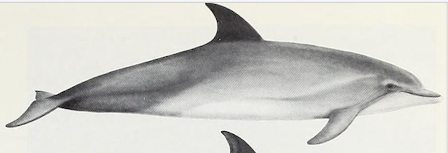 冰島白吻斑紋海豚