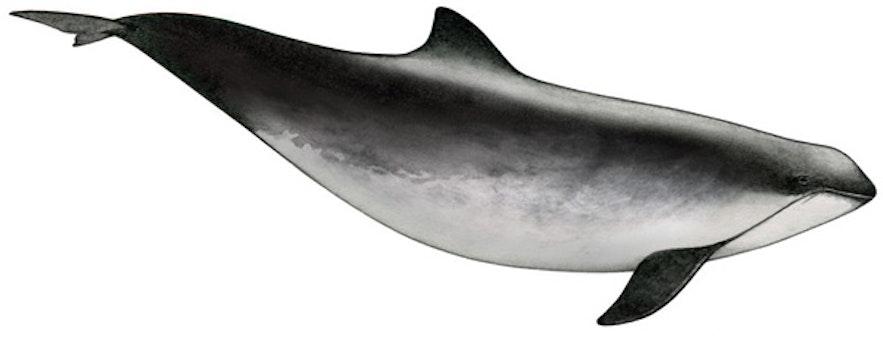 冰島鼠海豚
