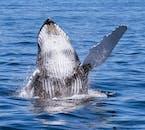 Ein Wal durchbricht die Wasseroberfläche.
