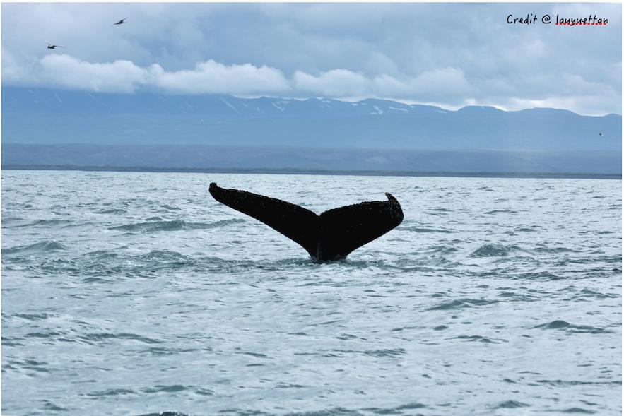 冰島觀鯨旅行團