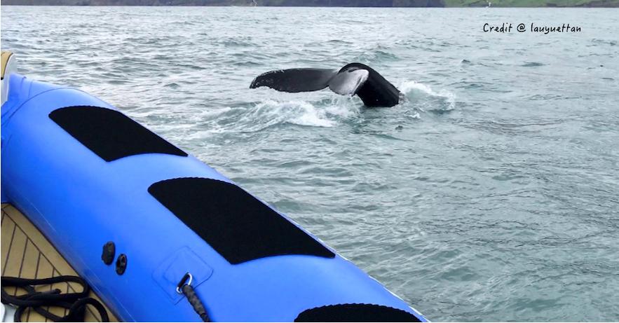 冰島鯨魚距離船非常近