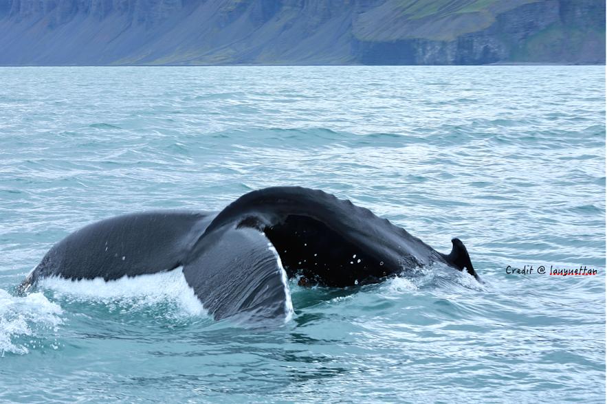 冰島鯨魚尾巴