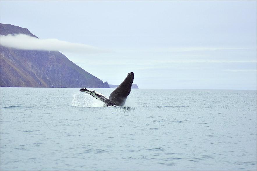 冰島鯨魚跳水