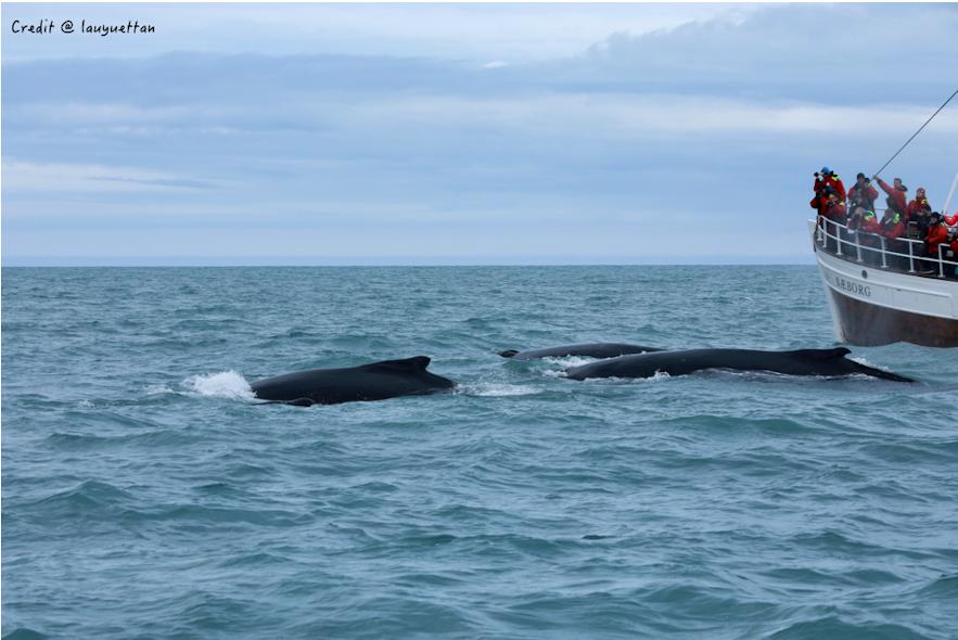 冰島的大量鯨魚