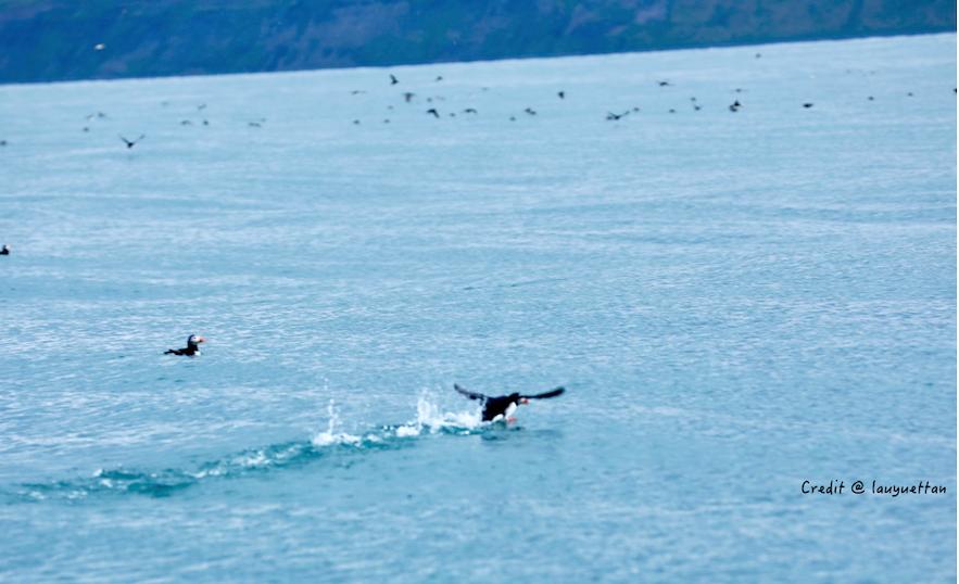 冰島出海觀海鸚