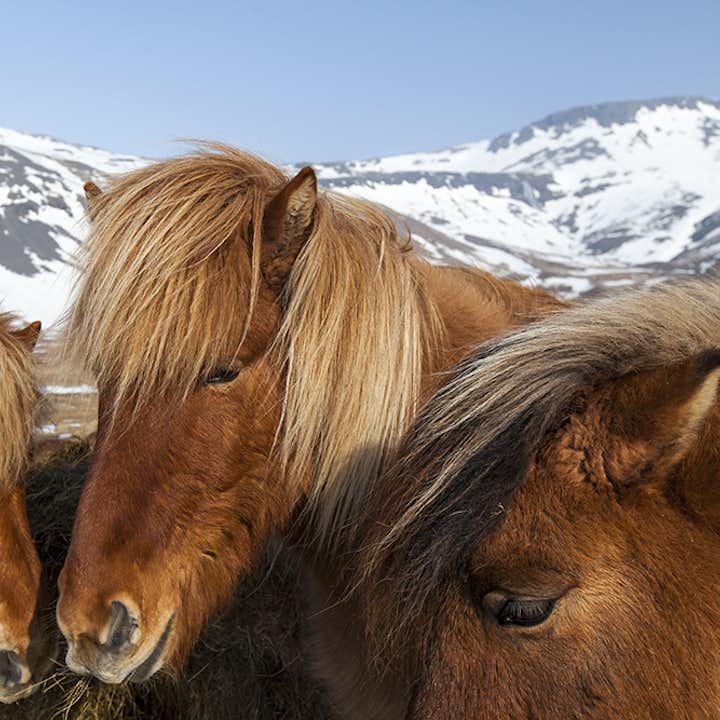冰岛亲子旅行团优惠套票 1小时骑马+3小时观鲸+1小时观海鹦