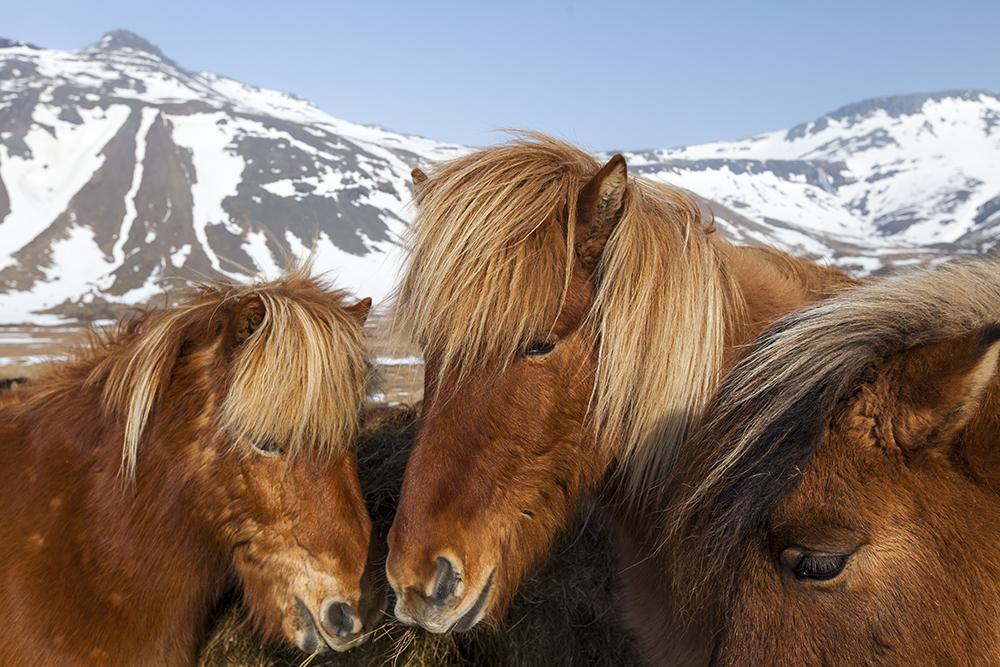 Des chevaux islandais se regroupent pour poser pour cette photo.