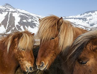 Icelandic Animals Tour Combo | Horse Riding, Whale & Puffin Watching with Pick-up in Reykjavik
