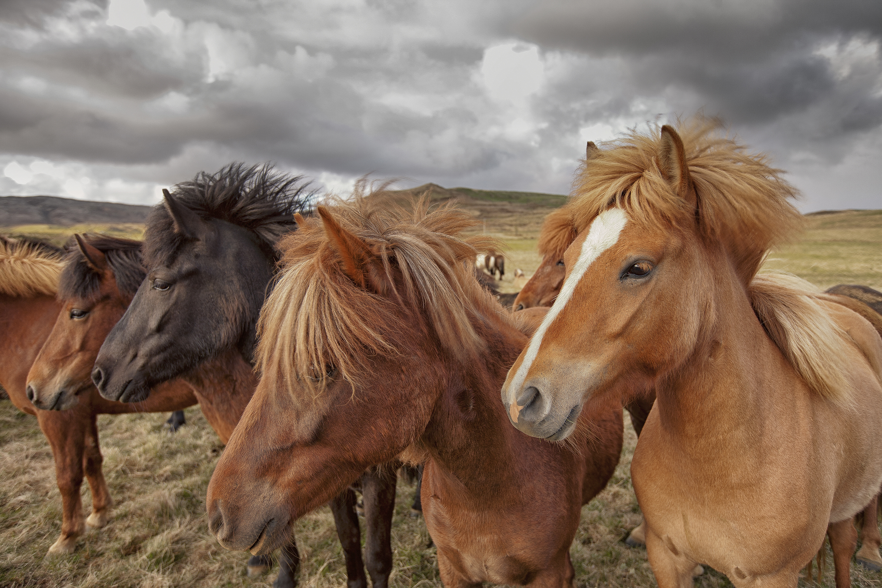 Meet the friendly and gentle Icelandic horse on a horse riding tour.