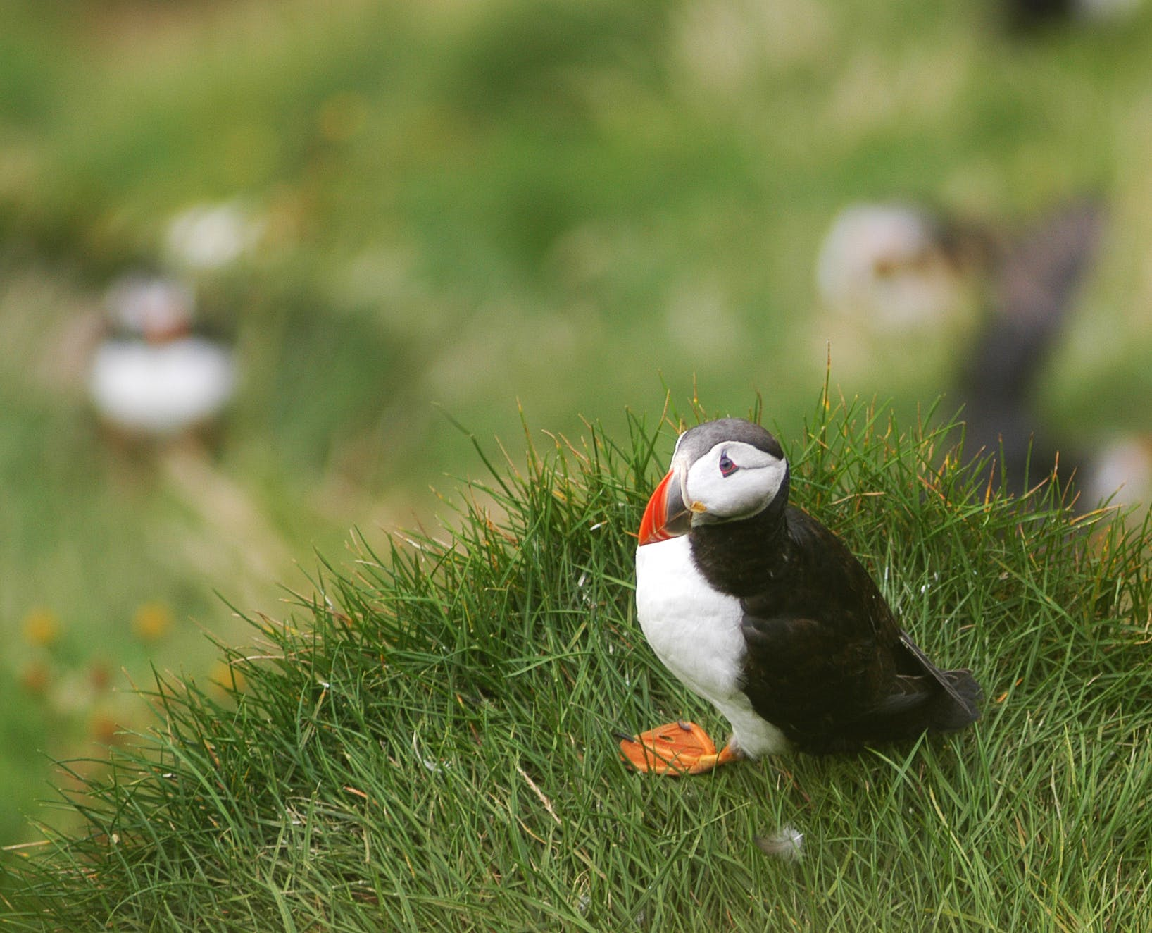 An adorable puffin in the wild.