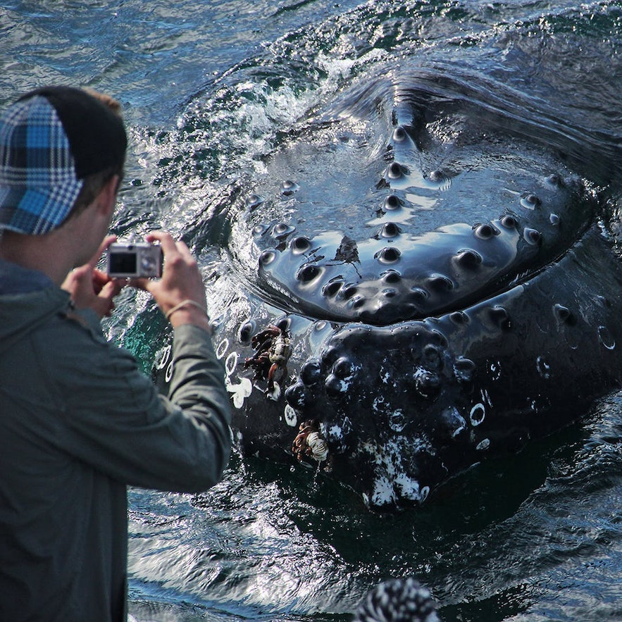 A close up encounter with an Icelandic humpback whales.